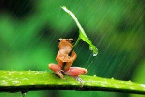 grenouille et parapluie